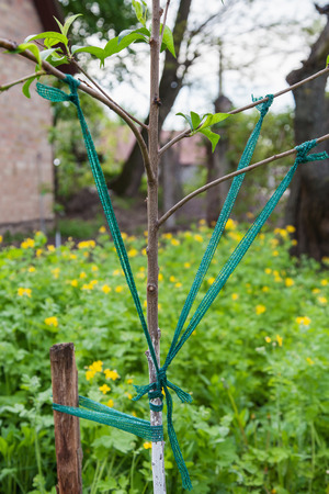 divergence: Correction angle divergence of the branches of young fruit tree Stock Photo