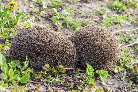 mating: Couple hedgehogs mating in early spring outdoors Stock Photo