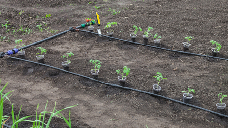 irrigation equipment: Seedlings of tomato prepared for planting on beds with drip irrigation
