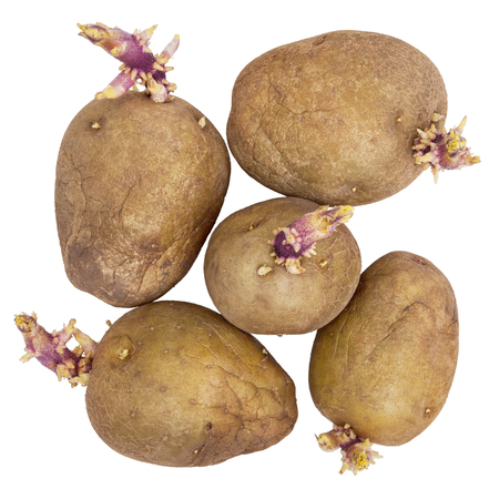 puckered: Germinating potatoes with big sprouts isolated on white background Stock Photo