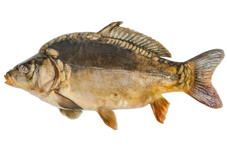mirror carp: Big common carp (Cyprinus carpio) isolated on white background with clipping paths