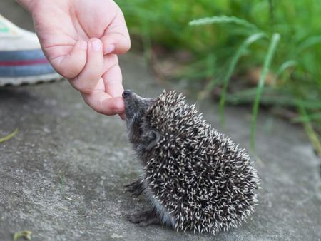 stroking: Child hand stroking small hedgehog close-up outdoors Stock Photo
