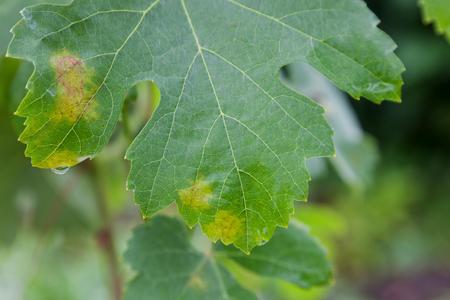Closeup of vine grape leaf affected by Downy Mildew (Plasmopara vitikola) Stock Photo