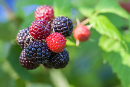 Black raspberry (Rubus occidentalis) of berries ripening closeup