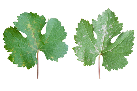 Closeup of vine grape leaf affected by Downy Mildew (Plasmopara vitikola), front and rear view isolated on white background