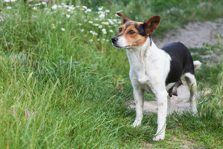 mongrel: Mongrel dog small walking in a meadow Stock Photo