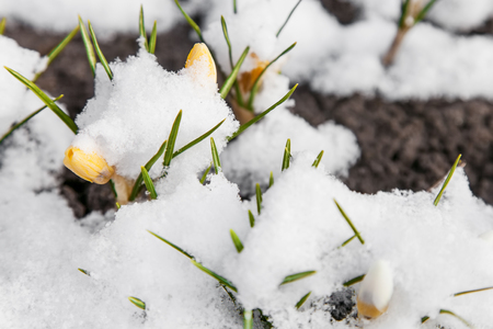 Yellow crocuses growing up through the snow in early spring Stock Photo