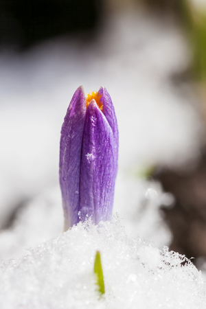 Violet crocuses growing up through the snow in early spring close-up