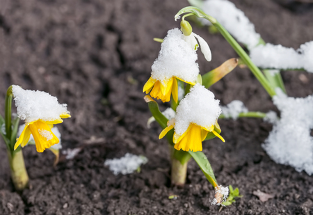 Yellow daffodils growing in early spring, primroses are covered with snow, blooming spring flowers