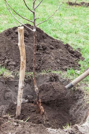 Planting fruit tree saplings in landing pit outdoors closeup, gardener fills pit with soil Foto de archivo
