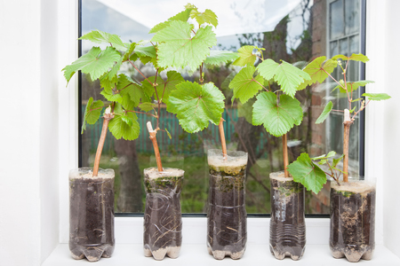 Seedlings of grapes in plastic pots on the windowsill, grape shoots, small vine ready for planting in the ground