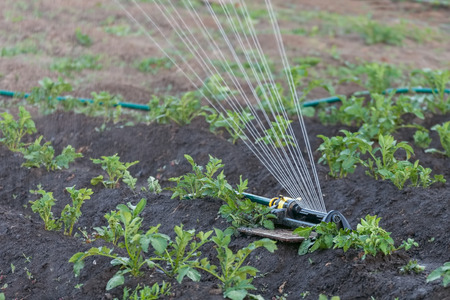 Sprinkler watering the potato beds in the garden, irrigation of vegetables with water