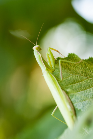 mantid: Young European Mantis or Praying Mantis, Mantis religiosa, crawling on green leaf Stock Photo