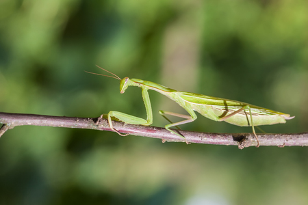 mantid: Young European Mantis or Praying Mantis, Mantis religiosa, crawling on branch