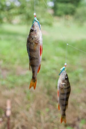 Two perch caught on a bait fishing fly close-up