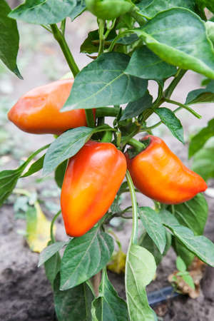 Sweet pepper grow in greenhouse, Bell pepper on the tree ready to be sold and eaten