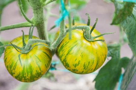 Gestreepte tomaten Het groene Gestreepte groeien op tak, verse tomaten groeit in een serre, close-up Stockfoto