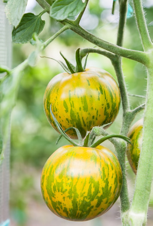 Striped tomatoes Green Zebra growing on branch, fresh tomatoes grow in a greenhouse, close-up
