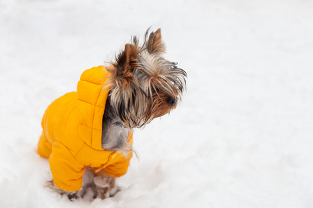 Kleiner Yorkshire-Terrierhund in einer gelben Jacke für einen Winterweg