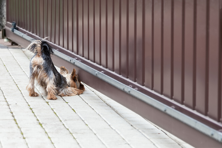 Young Yorkshire terrier dog looks under the gate, funny pose Standard-Bild