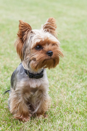Young Yorkshire Terrier dog sitting in the yard on a green lawn close-up