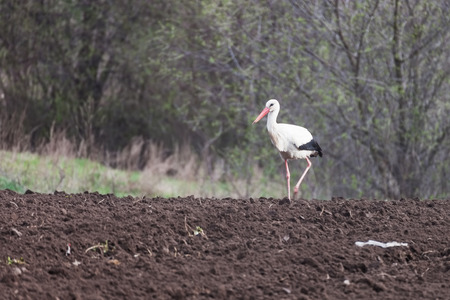 Bird stork on arable land, in the countryside Imagens - 93936639