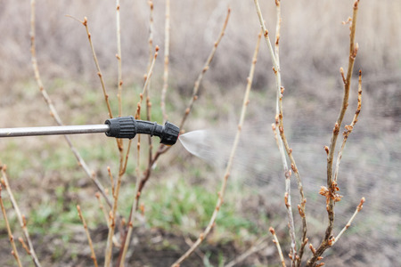 Sprinkling of currant bushes with fungicide in early spring Stock Photo