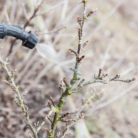 Sprinkling of gooseberry bushes with fungicide in early spring