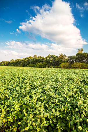 Green soybean plants, landscape soybean field with blue sky and white clouds Stock Photo