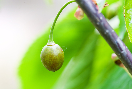 Sweet cherry berry is damaged by frost in spring, killed young cherry fruit close-up