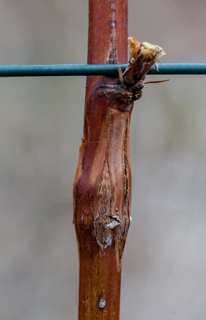 Photo raspberry gall midge, disease Lasioptera rubi, close-up outdoors 版權商用圖片