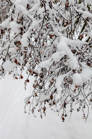 Branches of a bush in the park bent under the weight of snow after a heavy snowfall in the winter