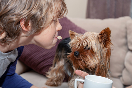 Dog, Yorkshire Terrier,plays with a boy, picks up food from her mouth