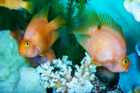 Parrot cichlids swimming in aquarium, fish closeup