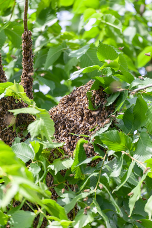 Swarm of honey bees close up apis mellifera hanging