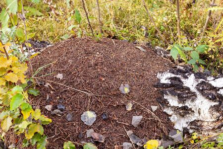 Large anthill with fallen leaves and needles in the birch forest