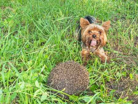 Dog Yorkshire terrier and hedgehog in the meadow
