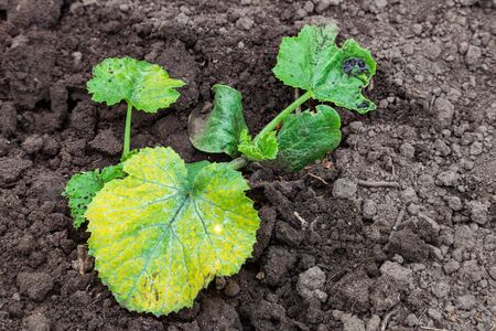 Leaf of zucchini with chlorosis. Diseases of zucchini. Chlorosis of leaves