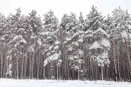 Coniferous forest after snowfall, pines covered with white snow