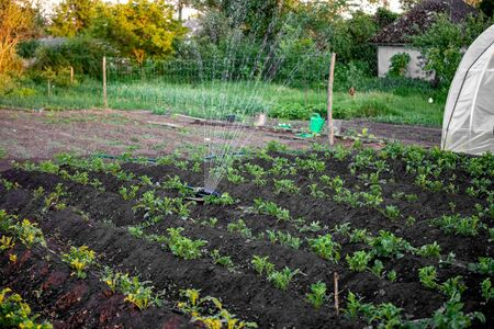 Sprinkler watering the potato beds in the garden, irrigation of vegetables with water, greenhouse in background