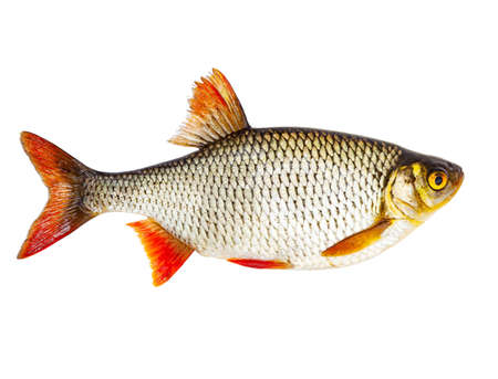 Fresh raw fish rudd isolated on white background