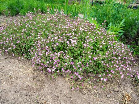 Rock soapwort flowers, Saponaria ocymoides, blooms in the garden