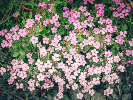 Rock soapwort flowers, Saponaria ocymoides. Natural background of pink flowers and green leaves