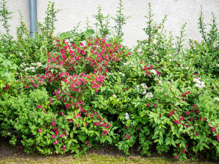 Decorative flowering bushes growing near the plastered wall in the city of Berlin, Germany Foto de archivo