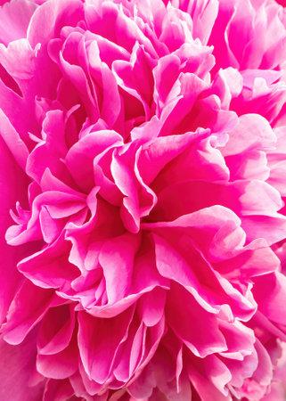 Pink floral macro background of fresh pink peony flowers petlas