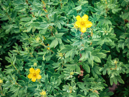 Potentilla fruticosa Goldstar Shrubby Cinquefoil, Yellow flowers on the background of green leaves
