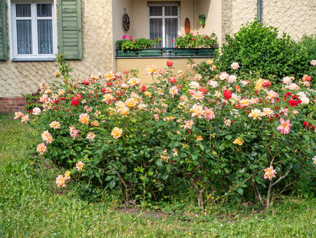 Decorative flowering bushes roses growing on the lawn in the city of Berlin, Germany