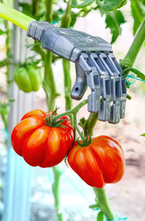 Robot manipulator collects tomatoes in the greenhouse, agriculture futuristic concept Foto de archivo