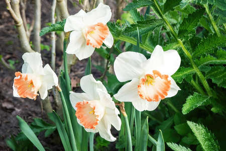 White narcissus (Narcissus poeticus) Flowers in the park outdoors
