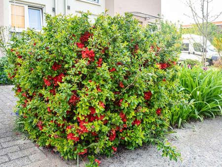 Chaenoméles japónica. Japanese quince bush grows on urban street Foto de archivo